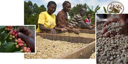 قهوه اوگاندا خاستگاه قهوه ی کانفورا