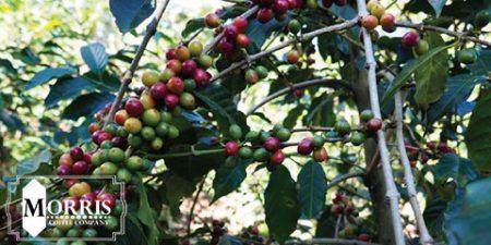 تجدید علاقه نسل جوان به تولید قهوه کنیا – قسمت دوم