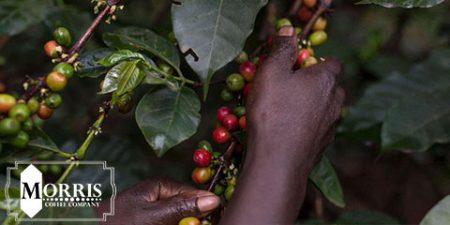 جوانسازی تولید قهوه در کنیا – قسمت نخست