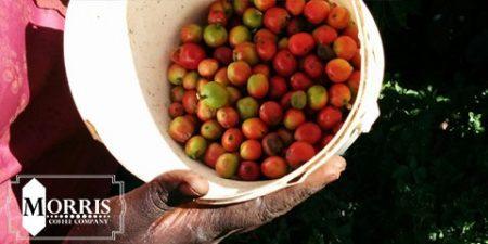 جوانسازی تولید قهوه در کنیا – قسمت سوم