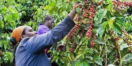 قهوه اتیوپی، قدیمیترین قهوه در جهان – قسمت نخست