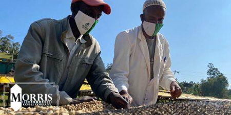 تأثیر Covid-19 بر قهوه در اتیوپی – قسمت دوم