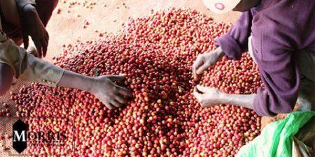 راهنمای رست و ویژگیهای قهوههای کنیا