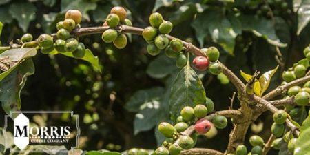 کاوش در انواع قهوه کنیا : SL-28 و SL-34 – قسمت دوم