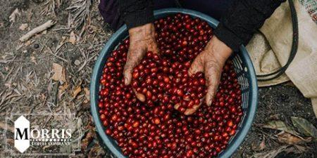قهوه ی کنیا AA SL-28 چیست؟ – قسمت دوم
