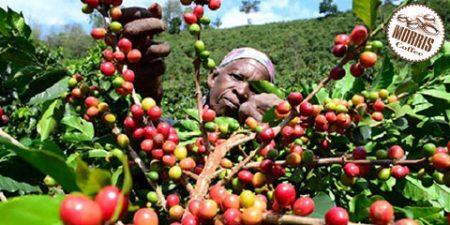 آشنایی با قهوهی تانزانیا