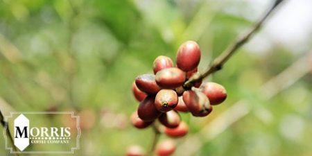 تغییر و اصلاح درختان قهوه کنیا – قسمت نخست