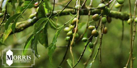 تغییر و اصلاح درختان قهوه کنیا – قسمت دوم