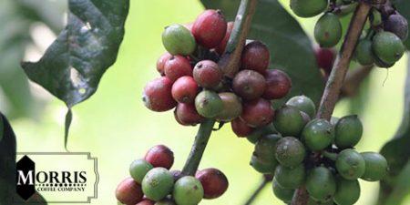 بررسی میزان مصرف قهوه در کشور اوگاندا – قسمت دوم