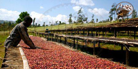 قهوه اتیوپی، قدیمیترین قهوه در جهان – قسمت دوم