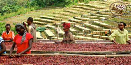 ویژگیها و انواع قهوه اتیوپی