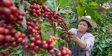 ارتقای مقاومت قهوه روبوستا در برابر افزایش دما