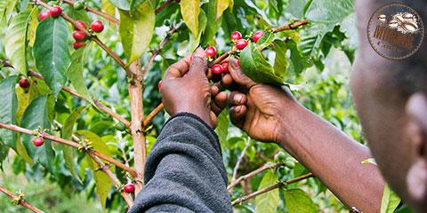 قهوه تخصصی کنیا