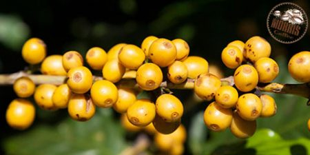 دستورالعملهای انجمن سرطان آمریکا در خصوص قهوه
