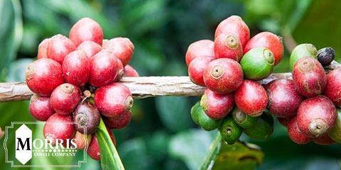 قهوه ی لیبریکا