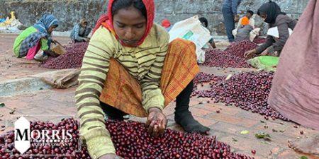 کشاورزی قهوه لائوس و مهمات منفجرنشده – قسمت دوم