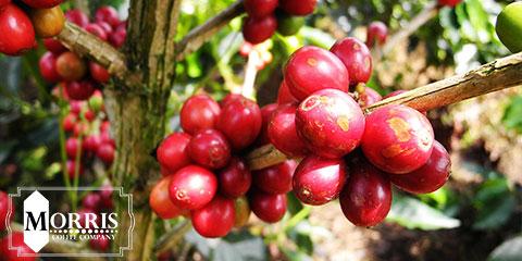 قهوههای اختصاصی کاستاریکا